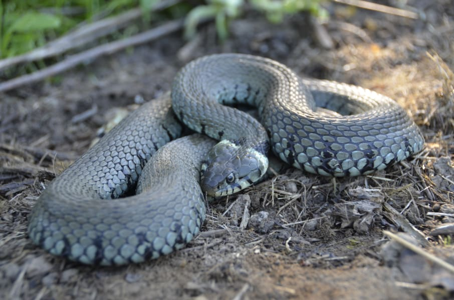 Knepp farm rewilding snake