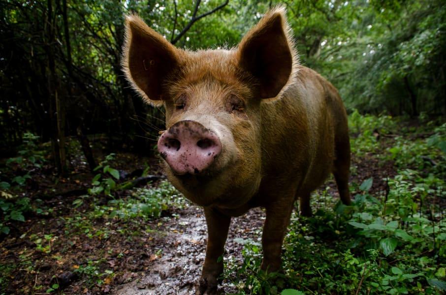 Knepp farm rewilding pig