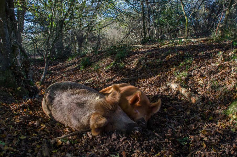 knepp farm rewilding cte pigs