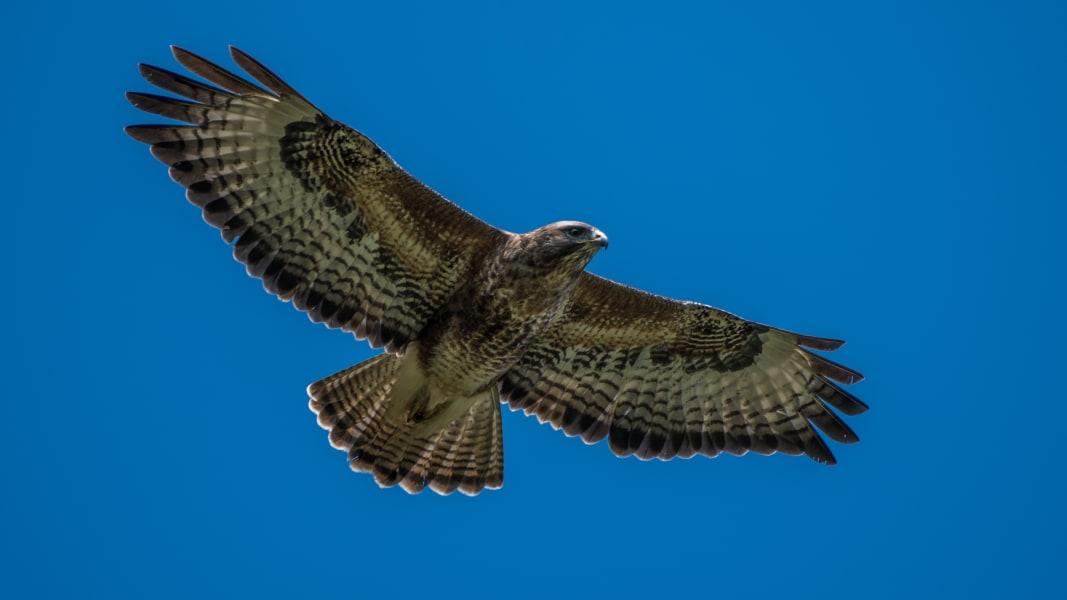 Knepp farm rewilding cte buzzard