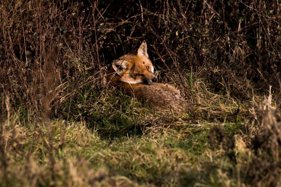 knepp farm rewilding cte fox