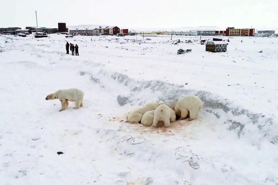 polar bears humans russia 2019