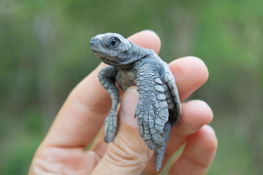 sea turtle olive ridley