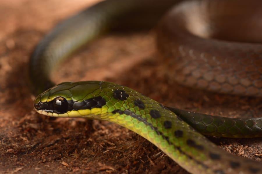 bolivian flag snake
