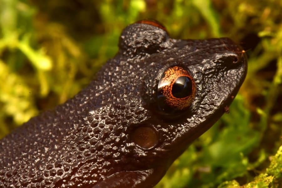 devil eyed frog