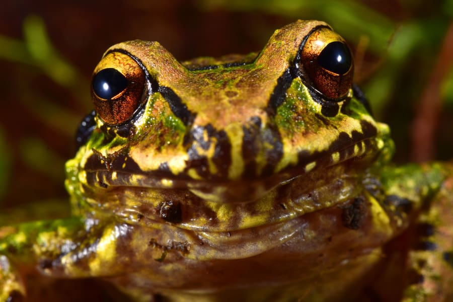 mercedes frog