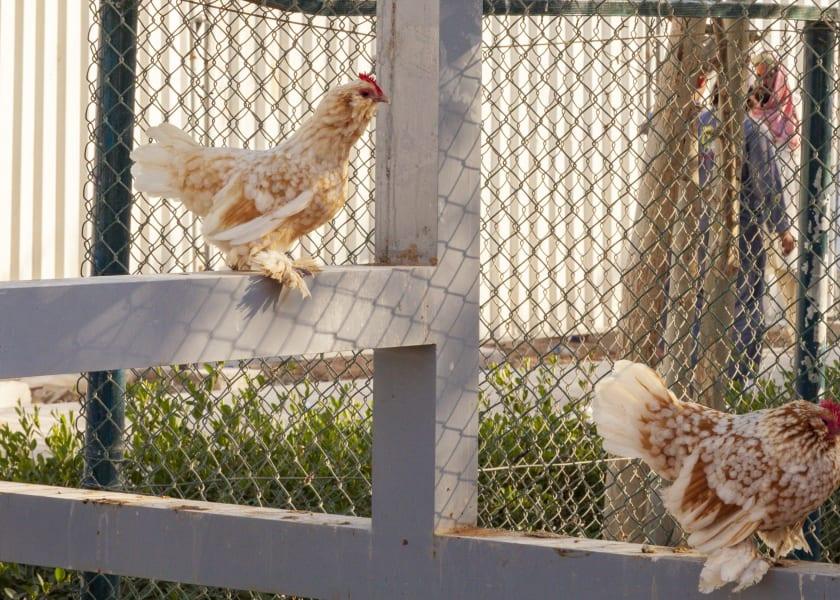 Dubai Sustainable City chickens
