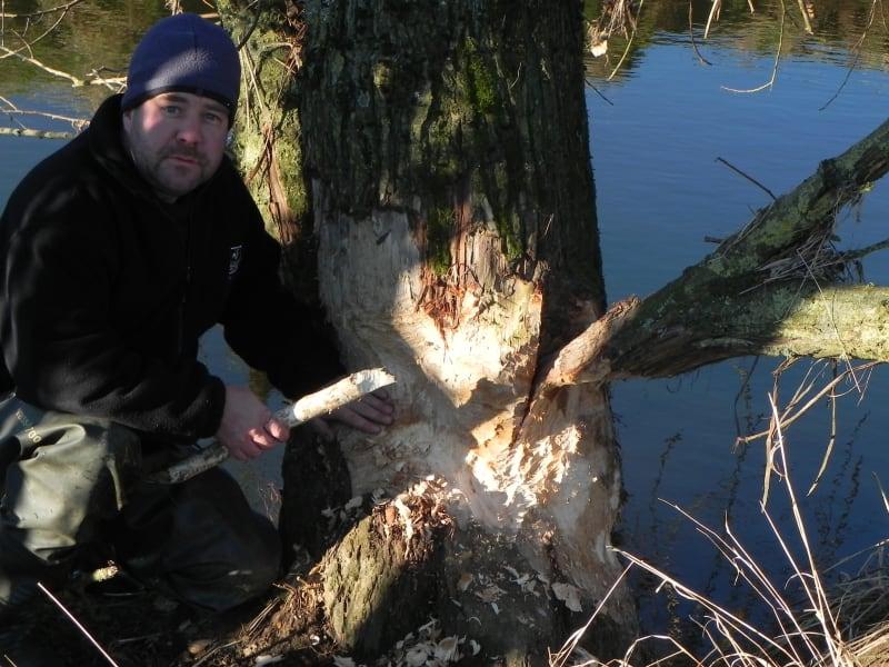 RESTRICTED beaver devon willow gnaw