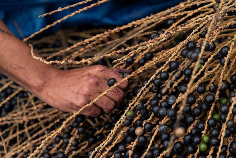 04 jucara berries agroforestry c2e