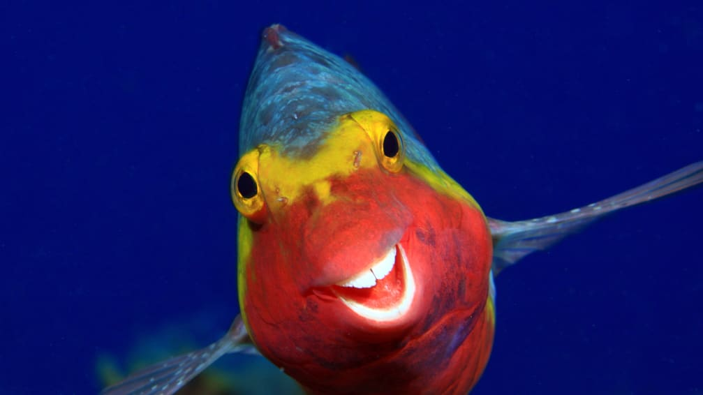 A Mediterranean parrotfish appears to smile in El Hierro, Canary Islands.