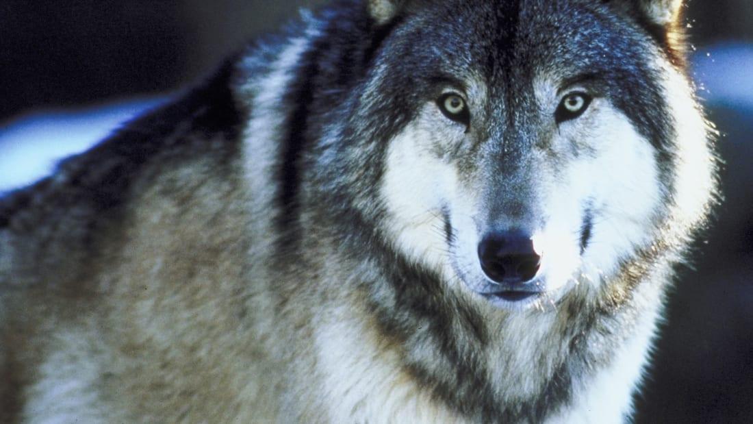 gray wolf thinkstock