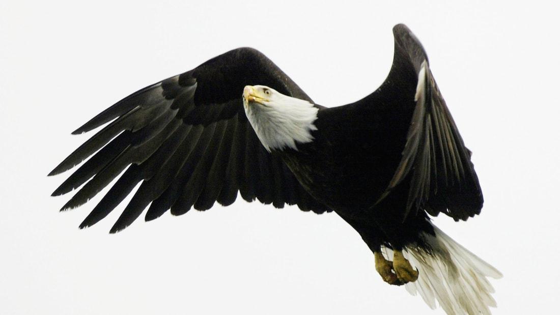 02 birds - eagle