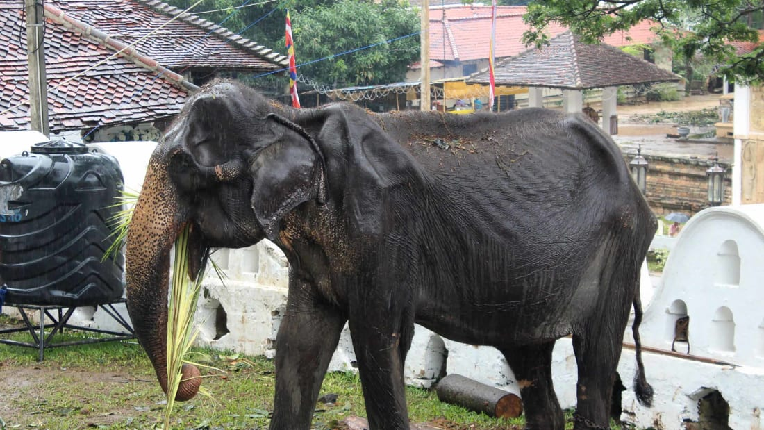 Campaigners are urging a boycott of Sri Lanka's elephant attractions after these photos emerged