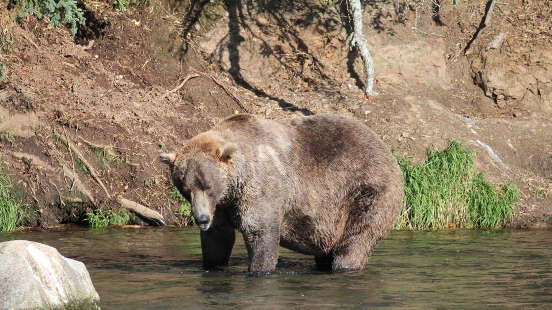480 Otis is a four-time winner of Fat Bear Week.