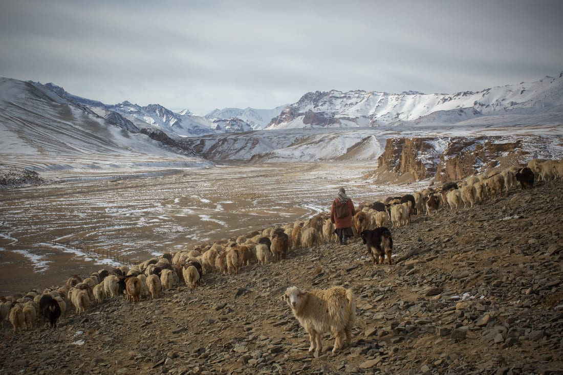 The Pashmina goat herders in a struggle against climate change