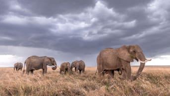 A group of elephants walk across the savanna.