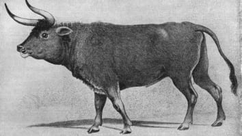 Archaeologists are concerned further drilling could destroy a preserved hoof print of an auroch, an extinct prehistoric cattle.