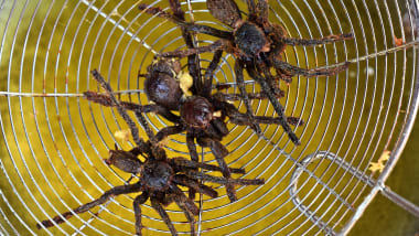 Cooking and eating tarantula spiders Cambodia | CNN Travel