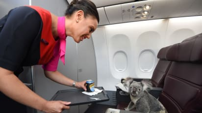 Why Is There A Koala Sitting In First Class Cnn Travel