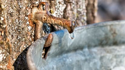 2649adf3d66 Maple sap is running in New England -- grab a bucket!