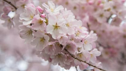 Cherry blossom.com Dating sito Web