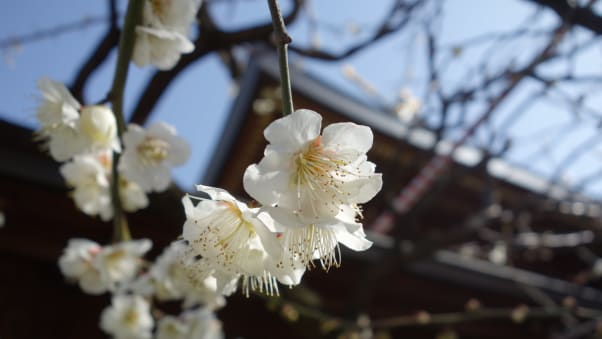 Plum blossoms in japan 10 best places to see them cnn travel go write your wishes university applicants and let these beautiful plum blossoms help your anxiety mightylinksfo