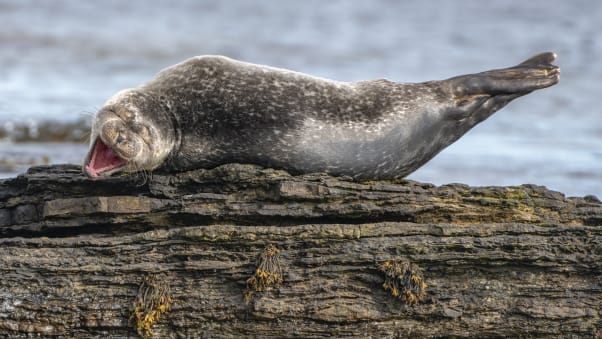 A young common seal looks as if it is enjoying itself in Caithness, Scotland.