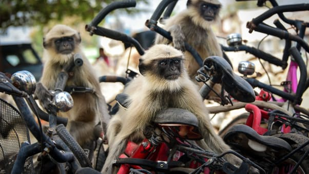 Langurs play together on some bicycles in Hampi, India.