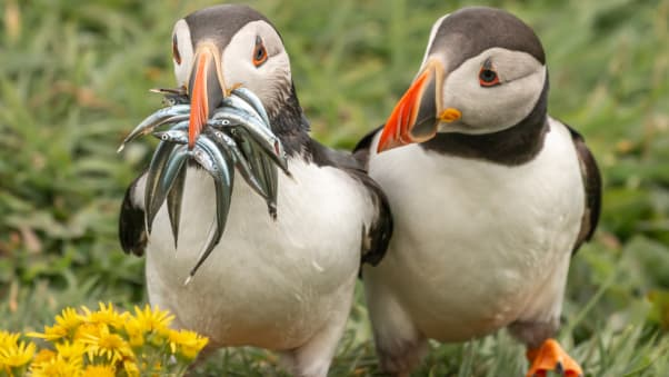 One Atlantic puffin seems to have had a successful time hunting for fish in Scotland, UK.