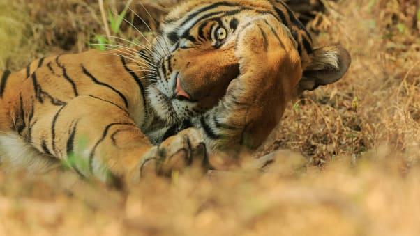 """A Royal Bengal tiger plays """"peekaboo"""" in Ranthambhor National Park, India."""