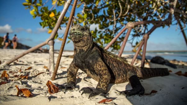 A Galapagos marine iguana (Amblyrhynchus cristatus) at the Tortuga Bay beach on the Santa Cruz Island in Galapagos, Ecuador, on January 20, 2018.