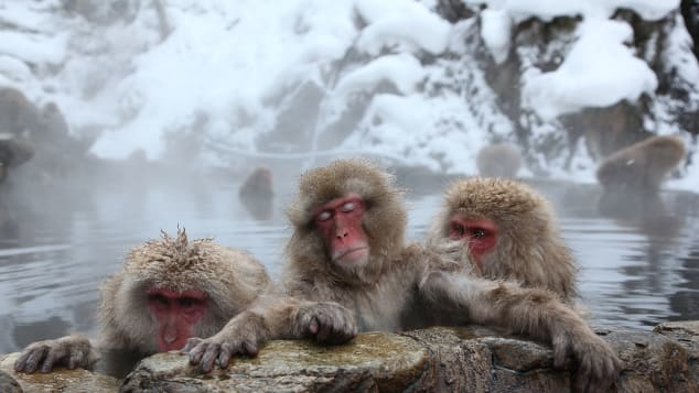 Even macaques in Japan know how to enjoy an onsen.