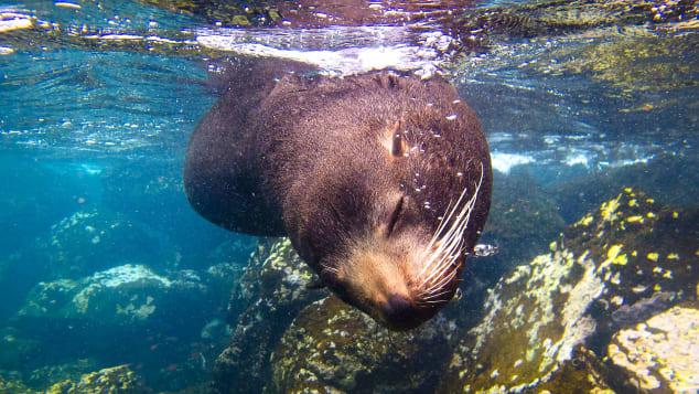 Best-snorkeling--nathab-galapagos-fur-sea-lion-c.-Jeff-A.-Goldberg