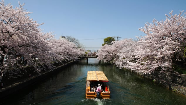 Every spring, Japanese celebrate cherry blossoms by gathering and picnicking at parks while admiring the pink blossoms.
