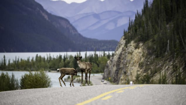 Alaska-Highway-Caribou