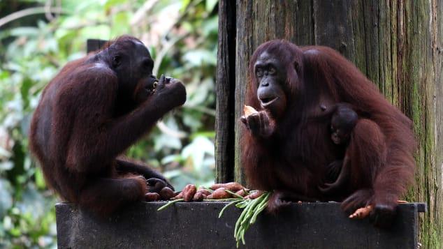 Quintessential Malaysian Borneo -- a visit to the Sepilok Orangutan Sanctuary.