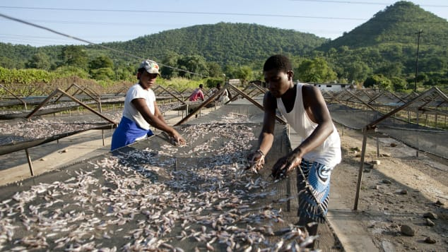 These delicious fish will be cooked up with maize porridge. Irresistible.