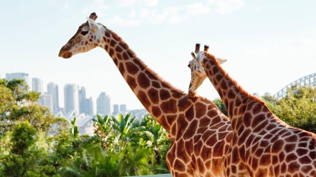 Sydney's Taronga Zoo offers amazing views of the harbor.