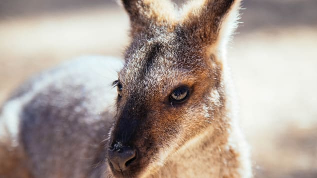 A kangaroo in the Blue Mountains, two hours west of Sydney.