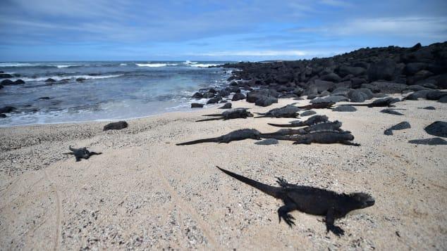 Marine iguanas in 'Playa de los Perros' (Dogs Beach) in the Santa Cruz island in the Galapagos Archipelago