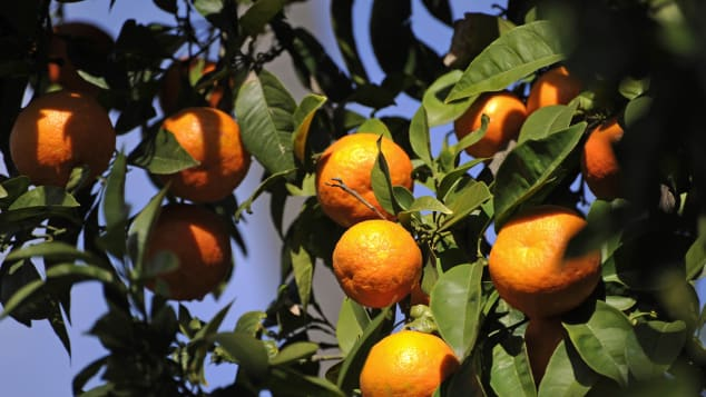 Ripe oranges hanging on the trees in the Spanish city of Seville.