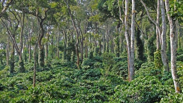 Evolve Back Coorg - Ινδία - φυτεία καφέ