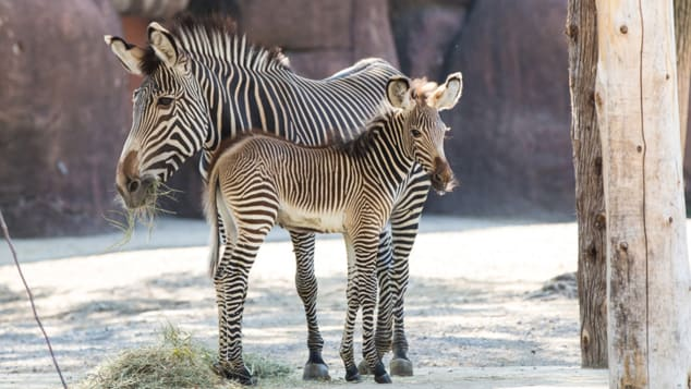 Animals are having babies at the St. Louis Zoo.