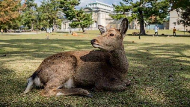 来看看日本很出名的鹿园