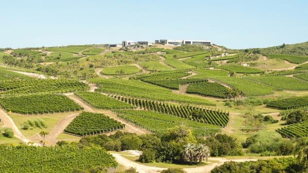 Bodega Garzon, Uruguay, vineyard