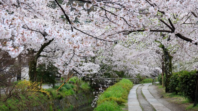 The Philosopher's Walk is best seen during cherry blossom season.