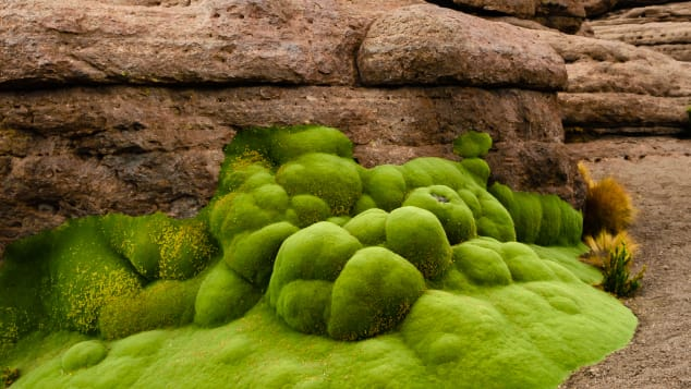 These eye-catching blobs are Andean shrubs that may date back thousands of years.