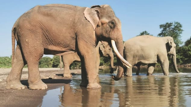 Anantara's Golden Triangle Elephant Foundation cares for about two dozen elephants.