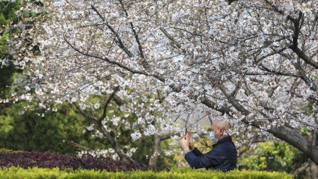 2020年3月17日,一名工作人员在武汉大学为樱花拍照。