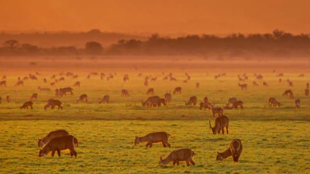 Waterbuck -- a type of large antelope -- graze on Gorongosa's floodplains.